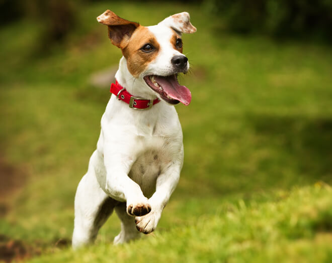 Jack Russel Terrier: 11 motivi per cui non è un peluche