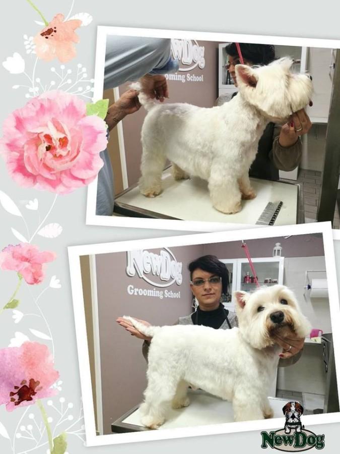 Lezione di Tosatura su West Highland White Terrier