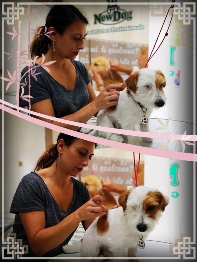 Lezione di Stripping su Jack Russell Terrier